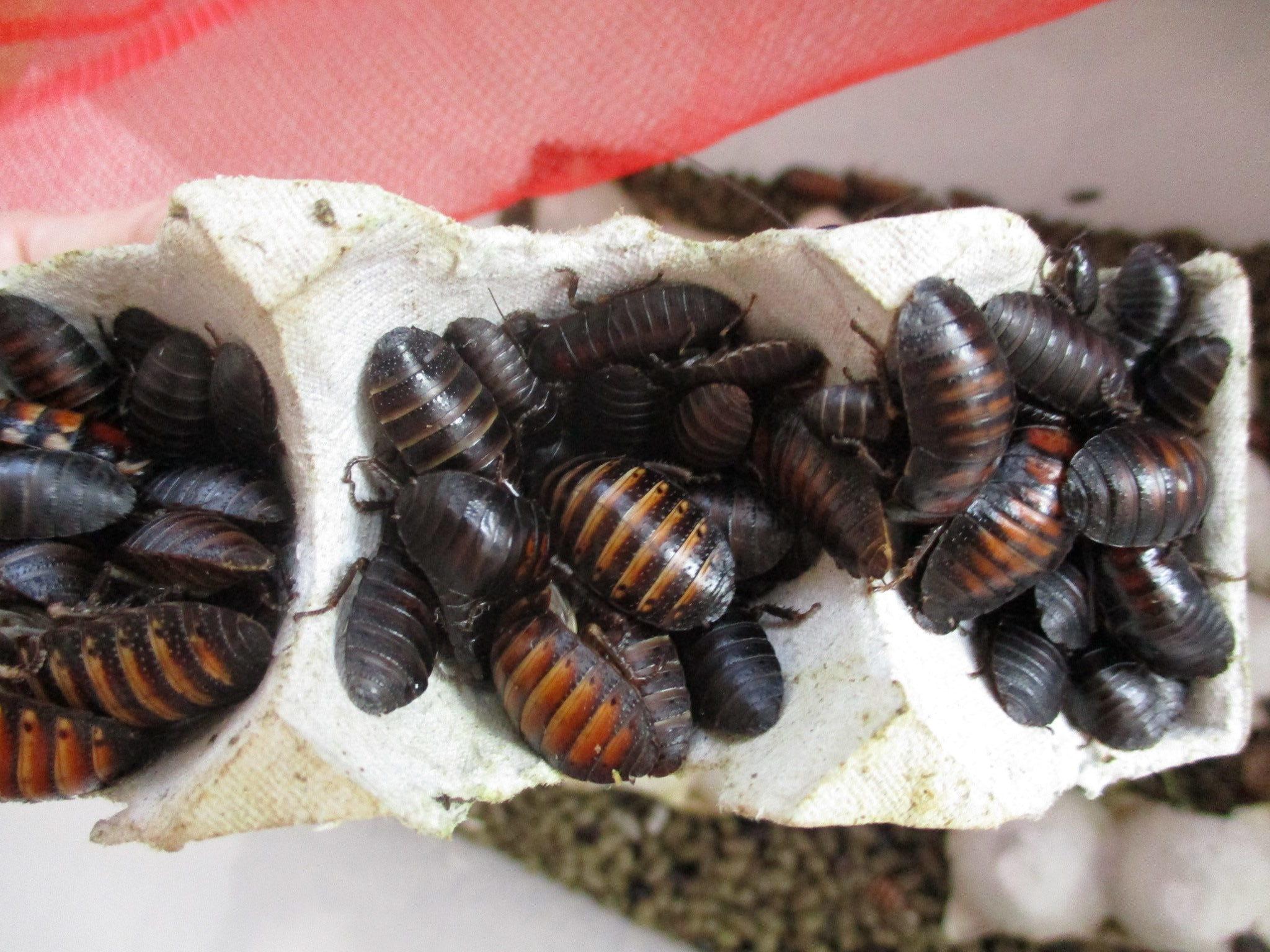 ハバニカ Elliptorhina javanica