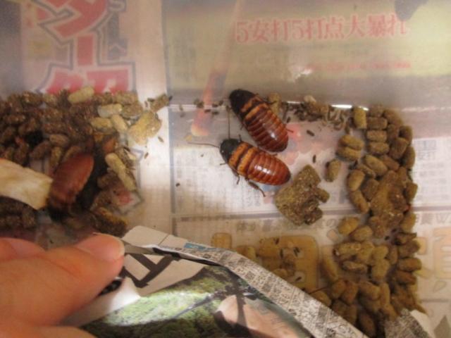 ドワーフヒッシングローチ Elliptorhina chopardi
