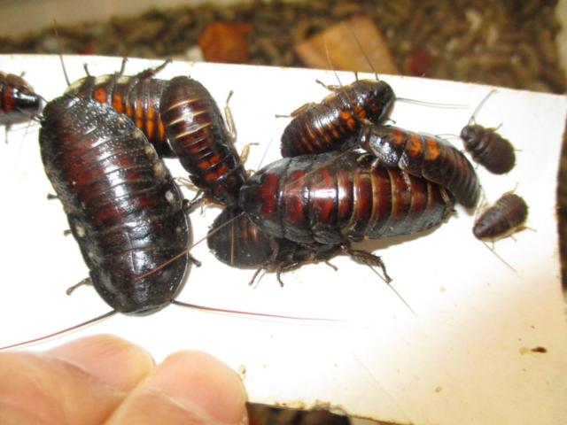 バンワエレベキ 幼虫