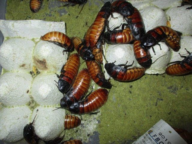 ノーマルタイプ Gromphadorhina portentosa normal