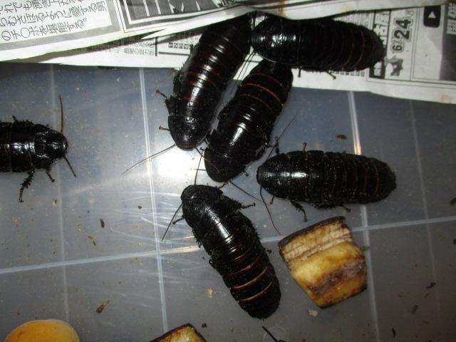 マダガスカルゴキブリ(Black血統)