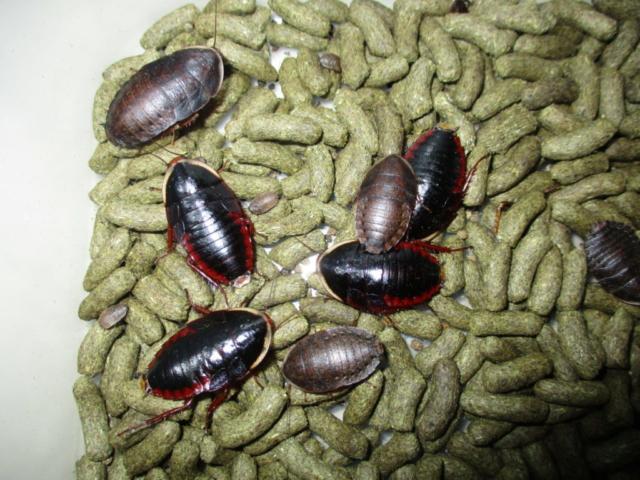 サツマゴキブリ 独特の光沢がある種類