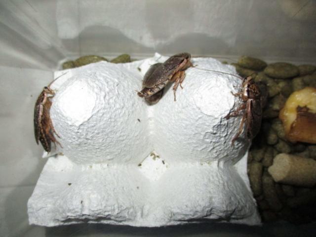 ハイイロゴキブリ(ロブスターローチ) 壁を登るタイプのゴキブリ