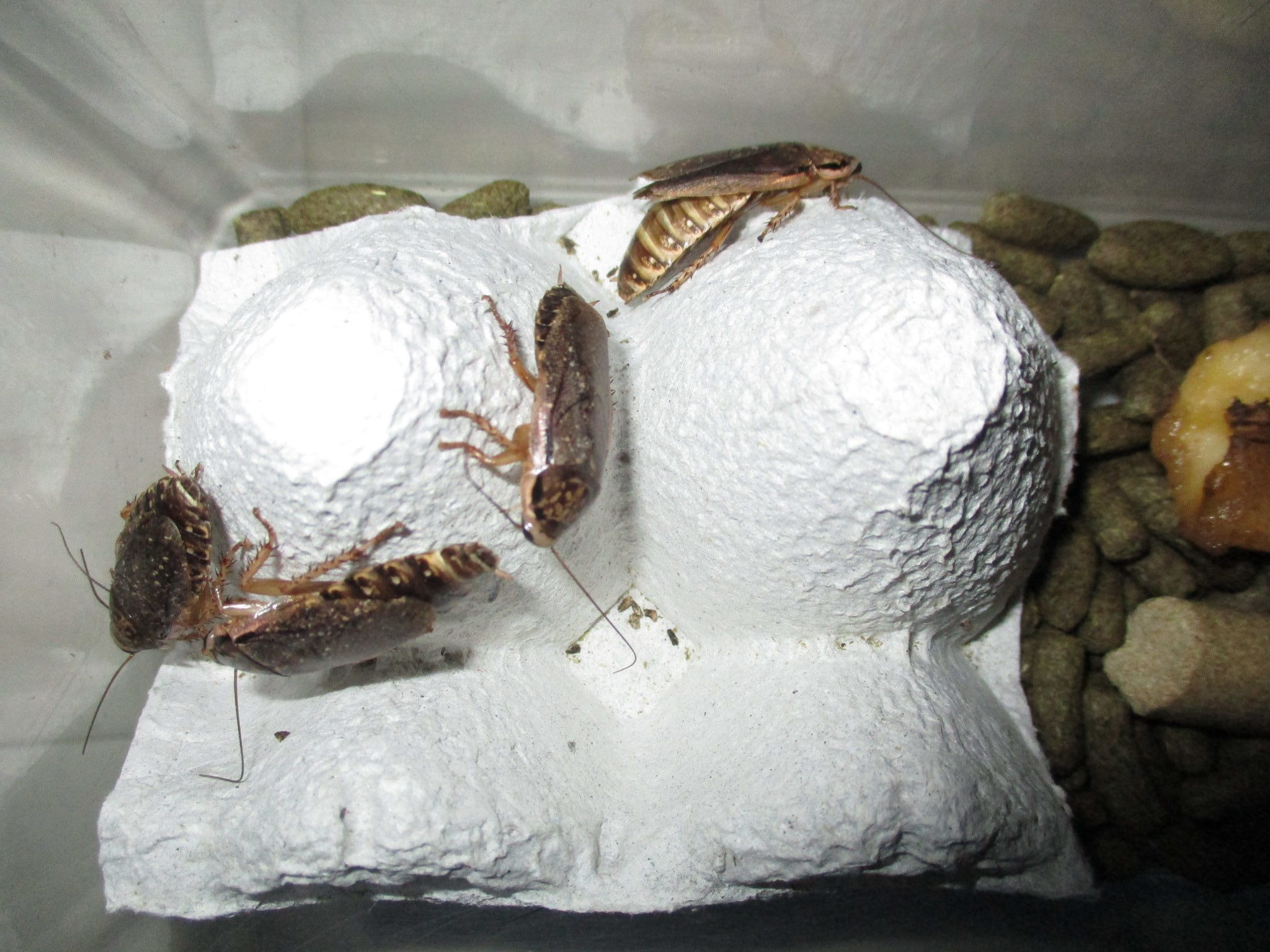 ハイイロゴキブリ(ロブスターローチ) 成虫は3センチほど
