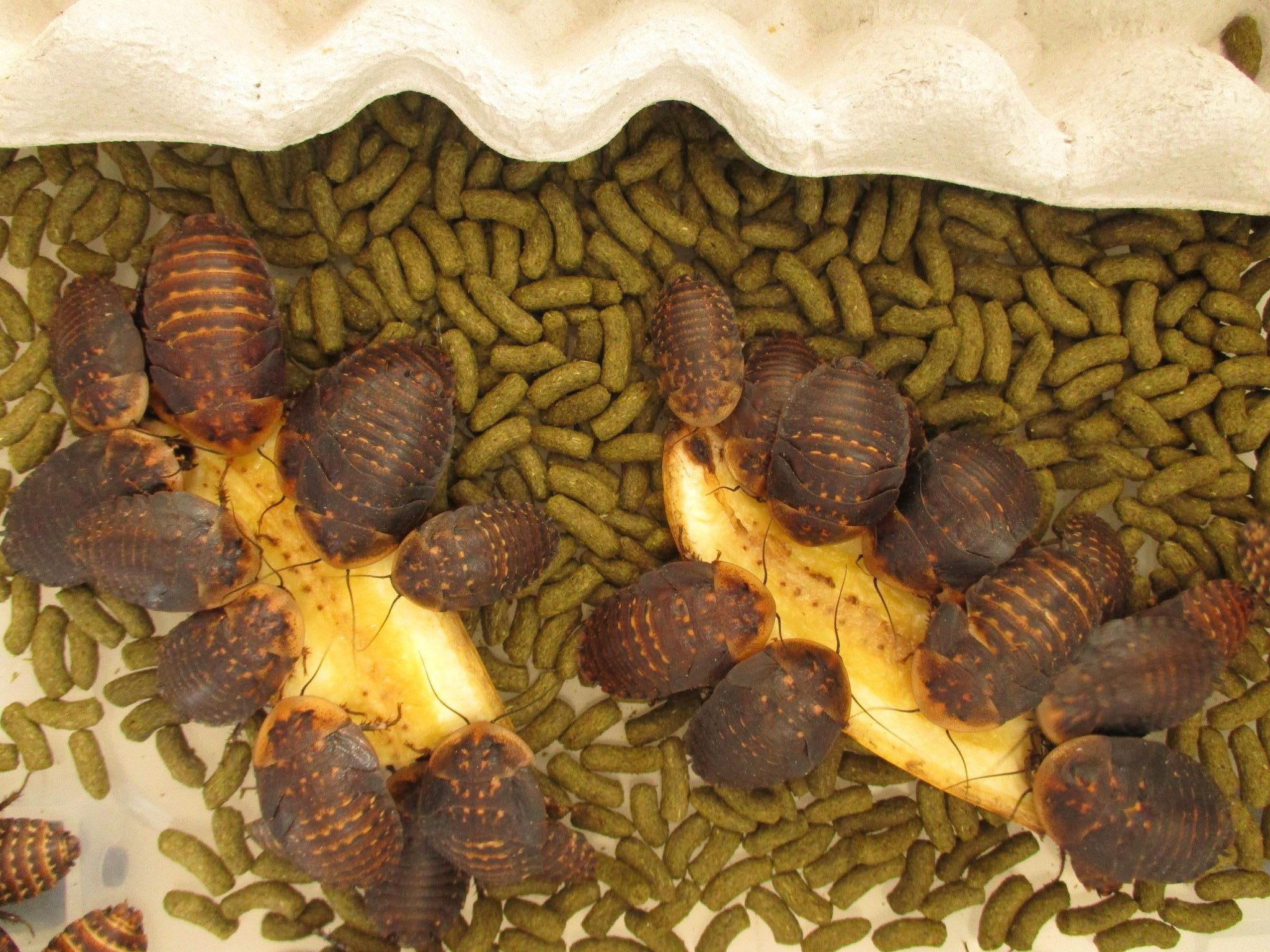 ブラベルスアトロポス 幼虫 バナナに群がる