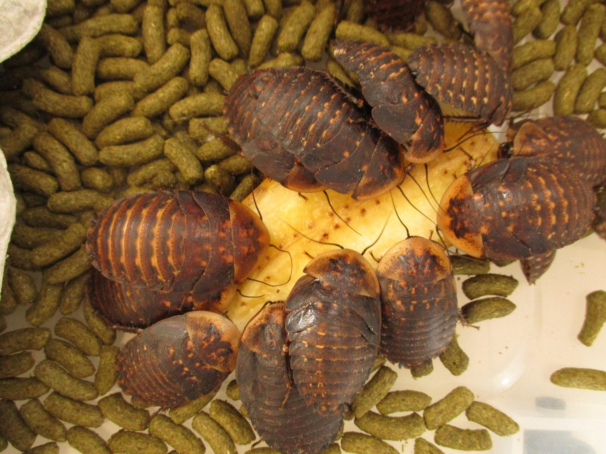 ブラベルスアトロポス 幼虫 食事中