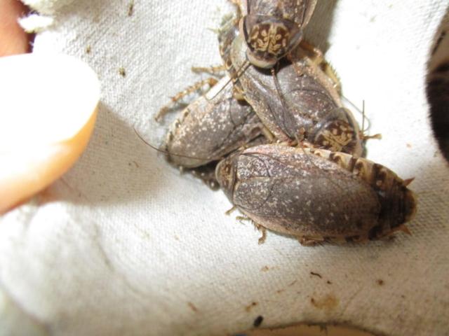ハイイロゴキブリ(ロブスターローチ) かすかに見える幼虫