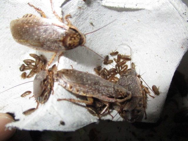 ハイイロゴキブリ(ロブスターローチ) 生まれた幼虫は5ミリほど