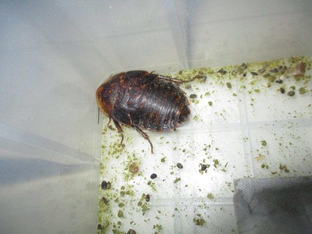 ブラベルスアトロポス 幼虫