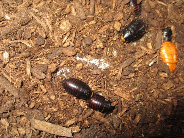 インシグニス 幼虫