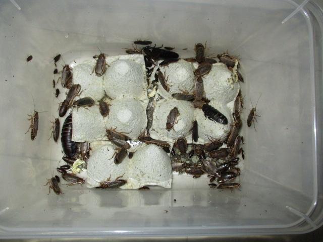 ハイイロゴキブリ 過密飼育