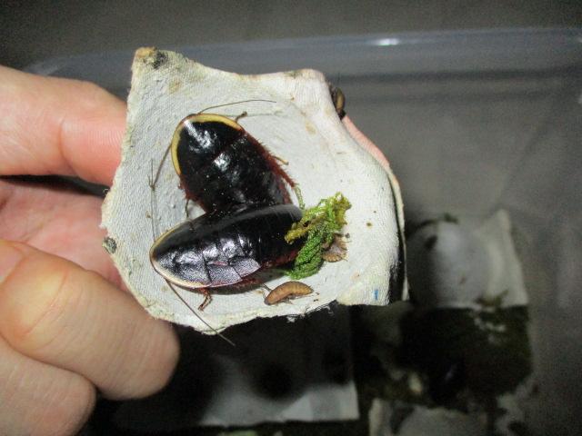 黒く光るサツマゴキブリ