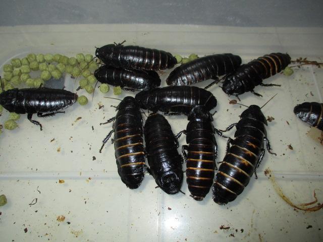 マダガスカルゴキブリ 黒光沢と背中の金色の筋