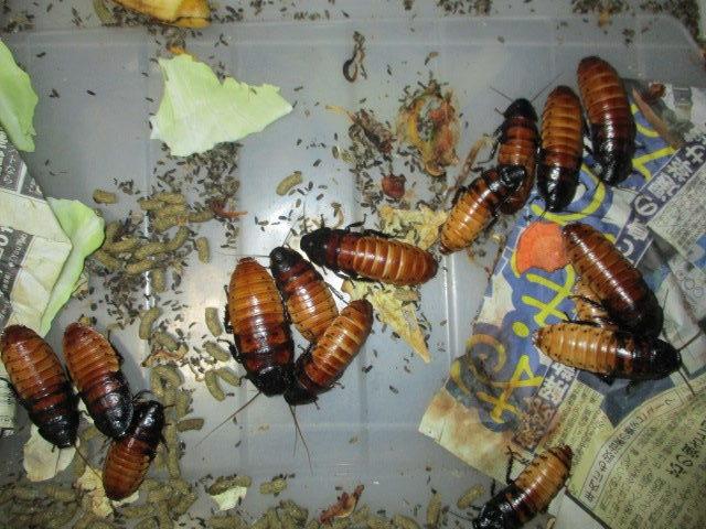 マダガスカルゴキブリ ノーマル